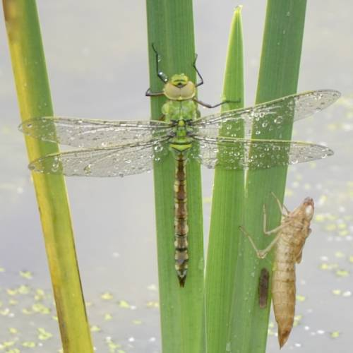 Dragonfly just emerged from the pond.