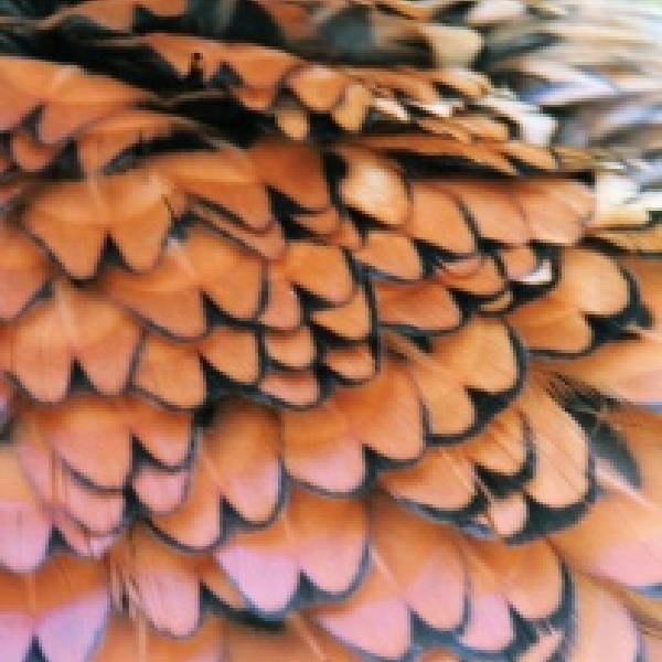 close up photograph of pheasant feathers